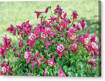 Canvas Print featuring the photograph Pink And White Columbine by Sue Smith