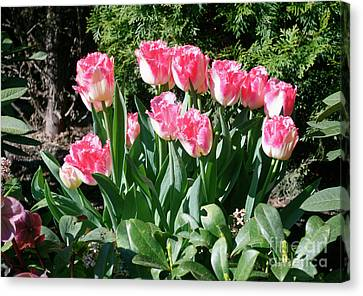 Pink And White Fringed Tulips Canvas Print by Louise Heusinkveld