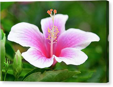 Pink And White Hibiscus Flower. Canvas Print by Sean Davey