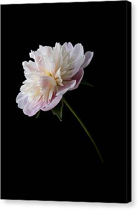 Pink And White Peony Canvas Print
