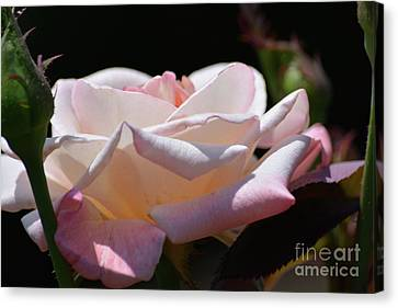 Pink And White Rose 2  Canvas Print by Ruth Housley