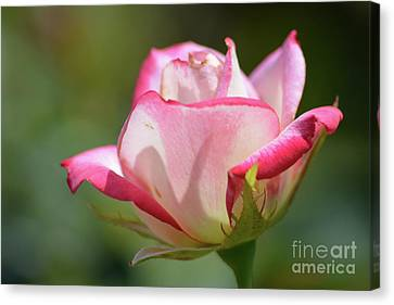 Pink And White Rose Canvas Print by Ruth Housley