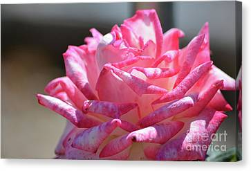Pink And White Ruffle Rose  Canvas Print by Ruth Housley