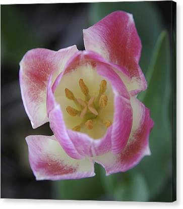 Pink And White Tulip Center Squared Canvas Print by Teresa Mucha