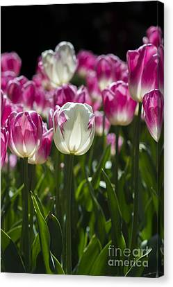 Canvas Print featuring the photograph Pink And White Tulips by Angela DeFrias