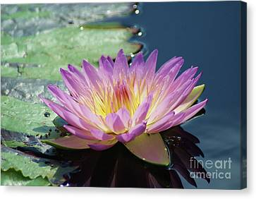 Pink And Yellow Lily   # Canvas Print