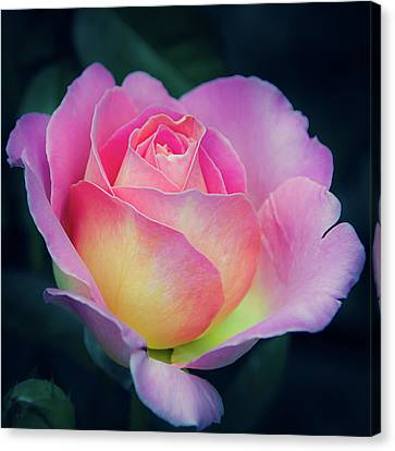 Canvas Print featuring the photograph Pink And Yellow Single Rose by Julie Palencia