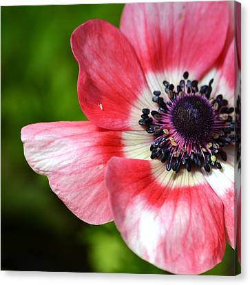 Pink Anemone Flower Canvas Print by P S