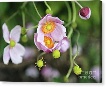 Pink Anemone Flowers Embrace Canvas Print by Carol Groenen