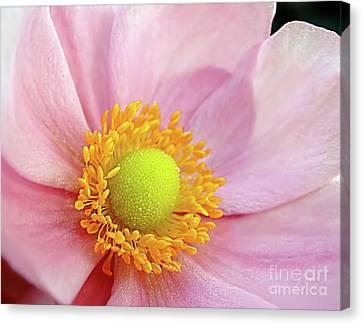 Pink Anemone Canvas Print by Kaye Menner