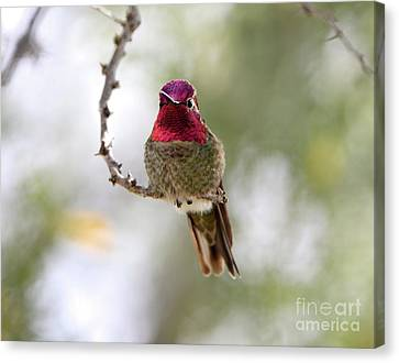 Pink Anna's Hummingbird Canvas Print
