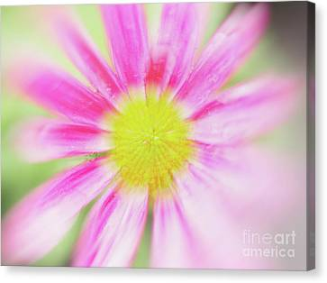 Pink Aster Flower With Raindrops Abstract Canvas Print