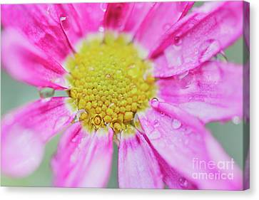 Pink Aster Flower With Raindrops Canvas Print