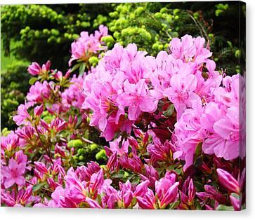 Pink Azalea Flowers Landscape 11 Art Prints Canvas Artwork Framed Art Cards Canvas Print by Baslee Troutman