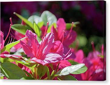 Pink Azalea In The Sun Canvas Print