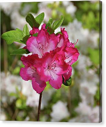 Canvas Print featuring the photograph Pink Azalea by Sandy Keeton