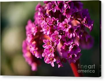 Pink Bergenia Flowering Plant Canvas Print