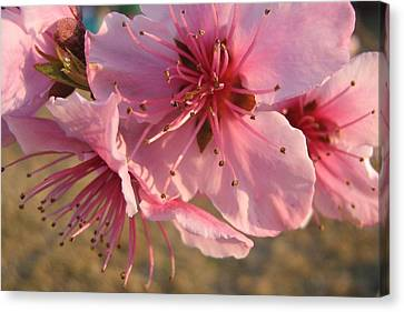 Canvas Print featuring the photograph Pink Blossoms by Barbara Yearty
