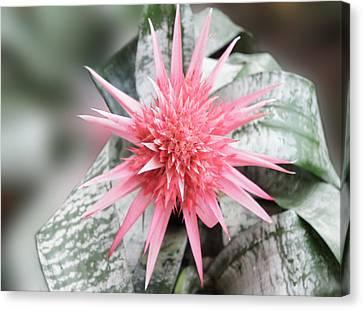 Pink Bromeliad Canvas Print by Art Spectrum