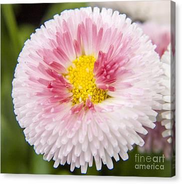 Pink Button Flower Canvas Print