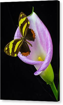 Pink Calla And Beautiful Butterfly Canvas Print by Garry Gay