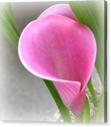 Pink Calla Lily Canvas Print by P S