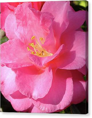 Canvas Print featuring the photograph Pink Camelia by Diane Ferguson