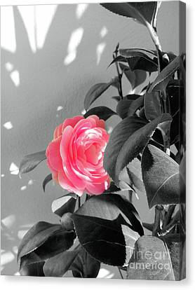 Pink Camellia Flower And Shadow Canvas Print by Vivien Jane C