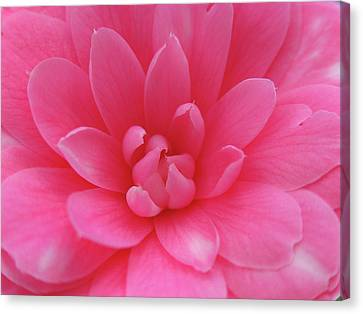 Pink Camellia Canvas Print by Juergen Roth