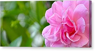 Pink Camellia Canvas Print by Lori Kesten