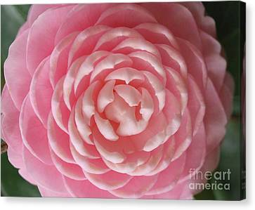 Pink Camellia Macro Canvas Print by Carol Groenen