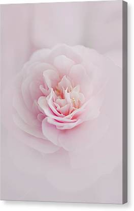Pink Camellia Canvas Print by Margaret Goodwin