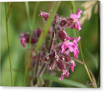 Pink Campion In August Canvas Print