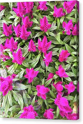 Cockscomb Canvas Print - Pink Celosia Flowers by Tom Gowanlock
