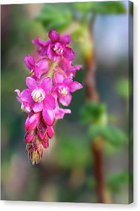Uc Davis Canvas Print - Pink Chaparral Currant, Ribes Malvaceum by Alessandra RC