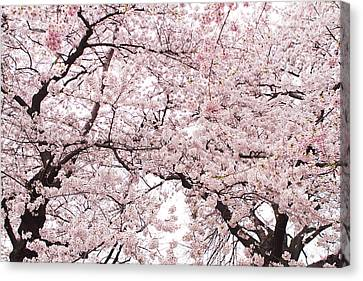 Pink Cherry Blossom Tree Canvas Print by Ariane Moshayedi