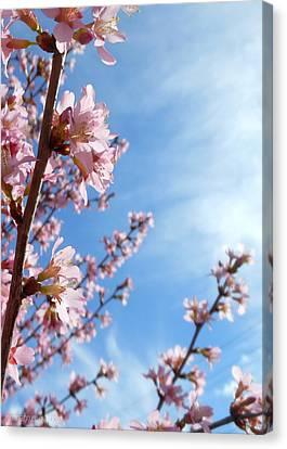 Pink Cherry Blossoms Branching Up To The Sky Canvas Print