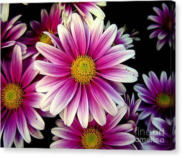 Pink Chrysanthemums Canvas Print