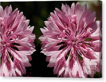 Pink Cornflowers Canvas Print