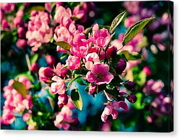 Canvas Print featuring the photograph Pink Crab Apple Flowers by Alexander Senin
