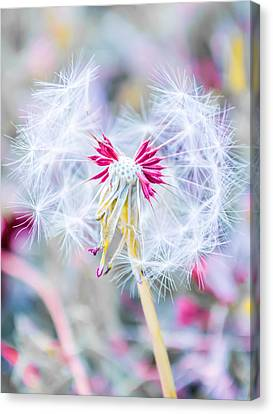 Seasons Canvas Print - Pink Dandelion by Parker Cunningham