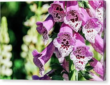 Pink Digitalis Foxgloves Plant Flowers In Garden Canvas Print