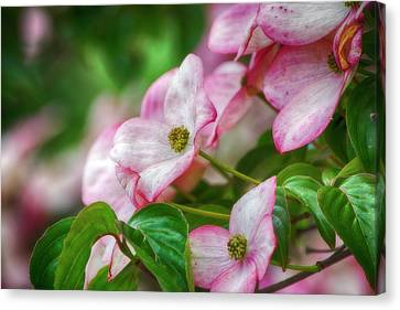 Canvas Print featuring the photograph Pink Dogwood by Bonnie Bruno