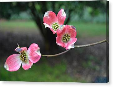 Canvas Print featuring the photograph Pink Dogwood by Linda Geiger