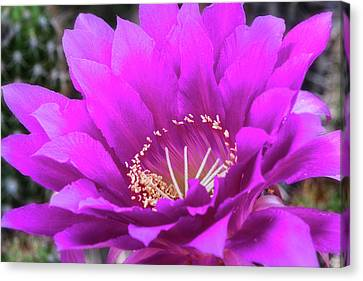 Canvas Print featuring the photograph Pink Echinopsis Bloom  by Saija Lehtonen