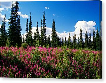 Pink Fireweed Flowers Blooming Canvas Print by Panoramic Images