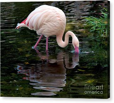 Canvas Print featuring the photograph Pink Flamingo by Ken Frischkorn