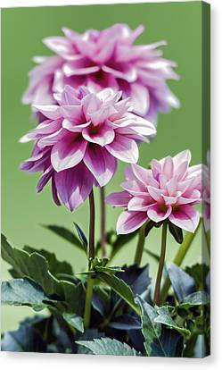 Vintage Pink Dahlias - Vertical  Canvas Print by SharaLee Art