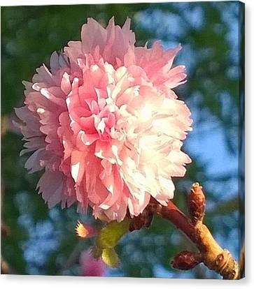 Floral Canvas Print - Pink Flower Bloom In Sunset. #flowers by Shari Warren