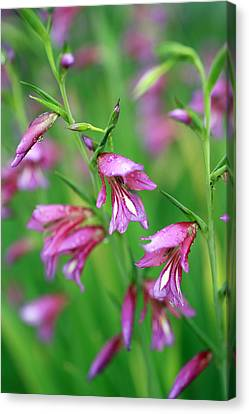 Pink Flowers Of Gladiolus Communis Canvas Print by Frank Tschakert